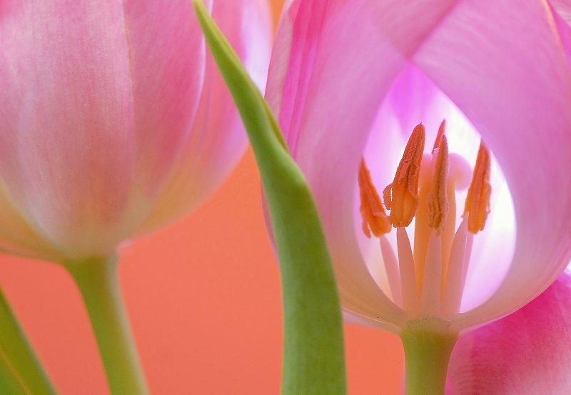 tulip-566875_1920